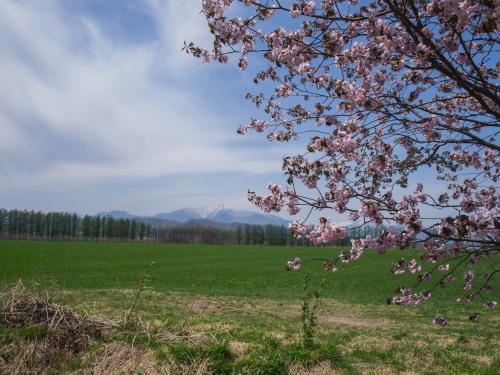 G.W.最終日、村道沿いの一本桜(中札内村)が満開に・・!_f0276498_15585089.jpg