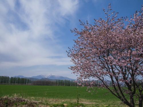 G.W.最終日、村道沿いの一本桜(中札内村)が満開に・・!_f0276498_15591604.jpg