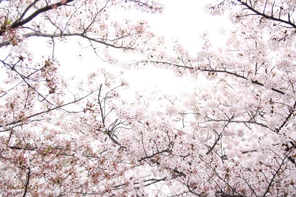 桜2015_a0115202_1373888.jpg