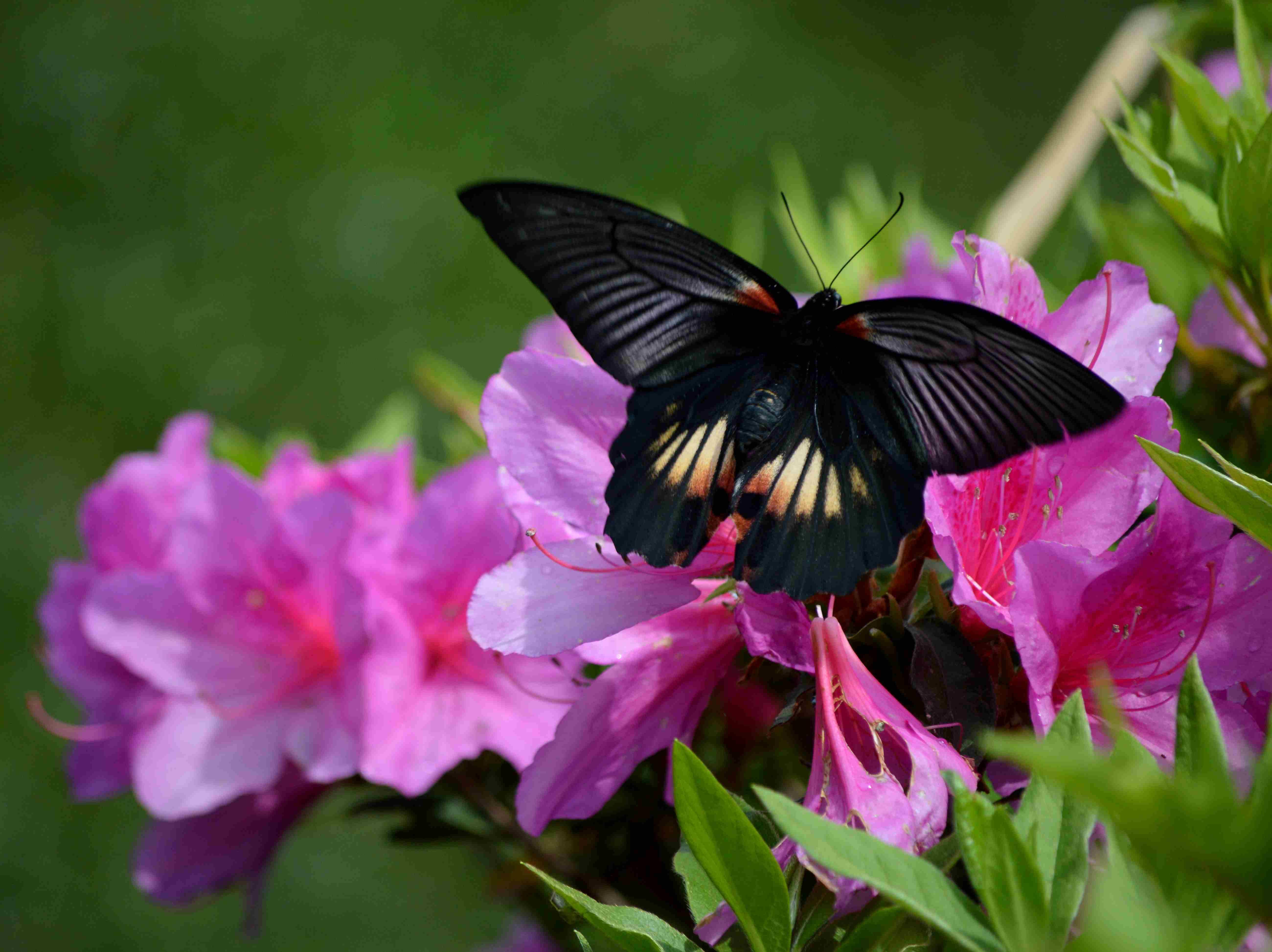 ナガサキアゲハ 5月2日ツツジの咲く公園にて_d0254540_547522.jpg