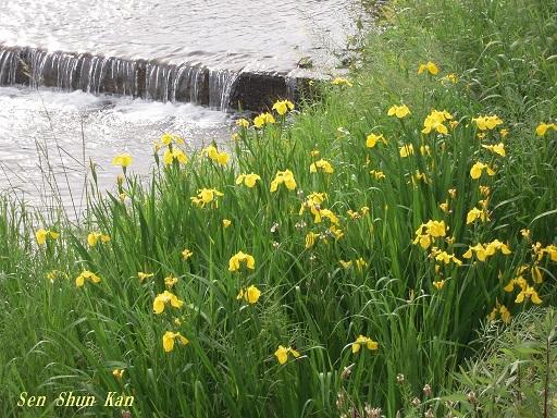 緑の賀茂川 2015年5月7日_a0164068_16154271.jpg