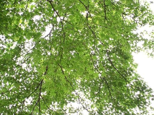 緑の賀茂川 2015年5月7日_a0164068_16161281.jpg