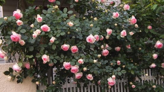 バラ 最高!NO.Ⅰ_b0214473_21415264.jpg
