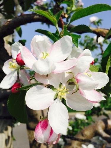 りんごの花は満開_a0134394_08150571.jpg