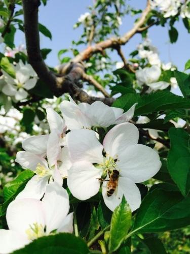 りんごの花は満開_a0134394_08160189.jpg
