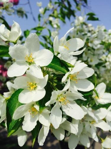 りんごの花は満開_a0134394_08170567.jpg
