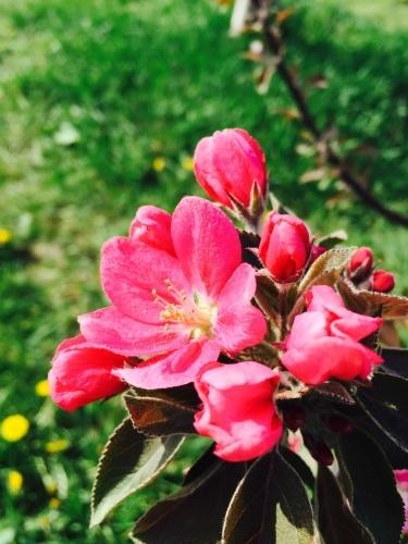 りんごの花は満開_a0134394_08273300.jpg