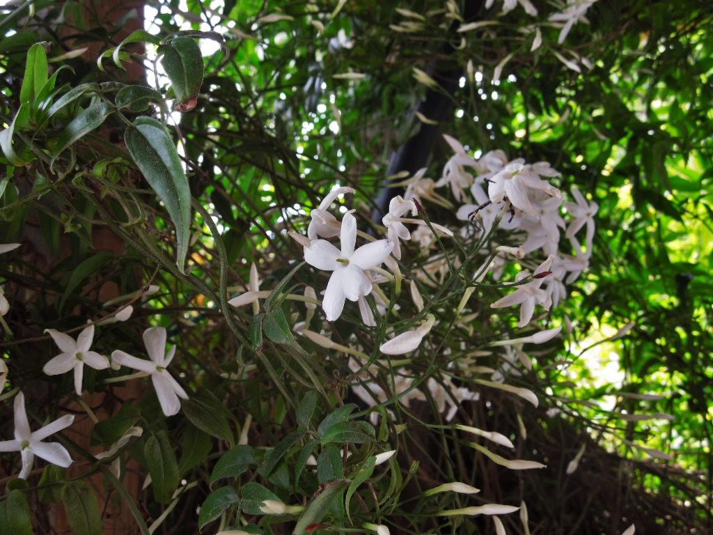「ジャスミンの花」_a0120513_1548426.jpg
