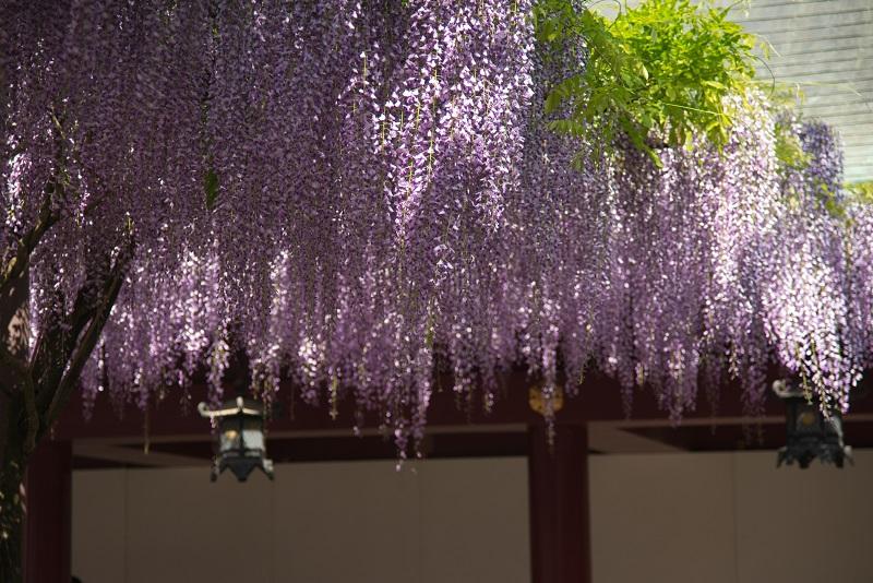 神社の藤ー1_b0230131_1942364.jpg