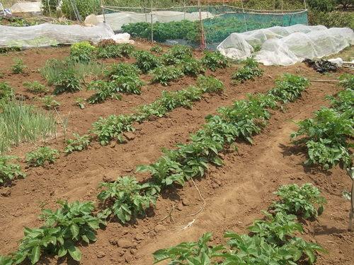 ジャガイモの土寄せ&支柱つくり_b0137932_2144439.jpg
