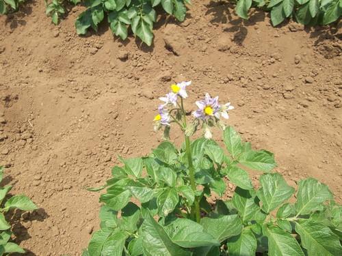 ジャガイモの土寄せ&支柱つくり_b0137932_215291.jpg