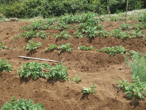 ジャガイモの土寄せ&支柱つくり_b0137932_2154127.jpg