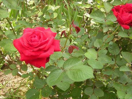 薔薇満開なり〜〜!_c0131063_16312972.jpg