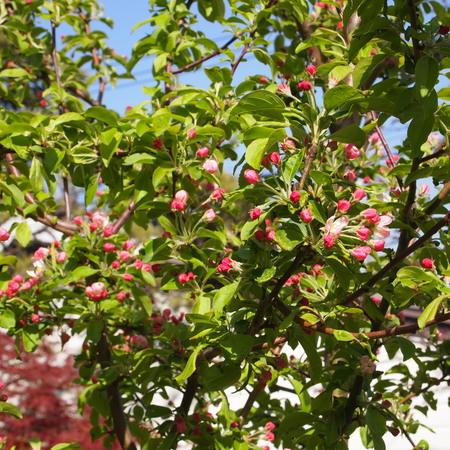 クラブアップルが咲いています。_a0292194_20571310.jpg