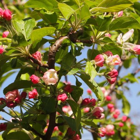 クラブアップルが咲いています。_a0292194_20574023.jpg