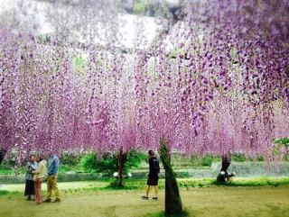 藤の花と花柄ロングシャツ_e0268298_16241855.jpg