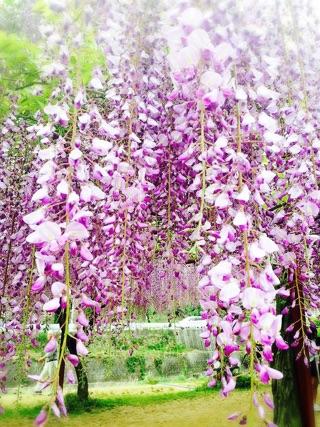 藤の花と花柄ロングシャツ_e0268298_16242697.jpg