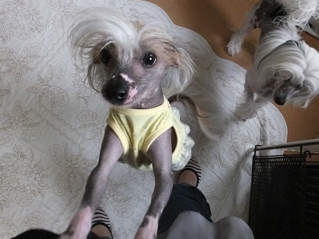 Image result for chinese crested 犬  走る