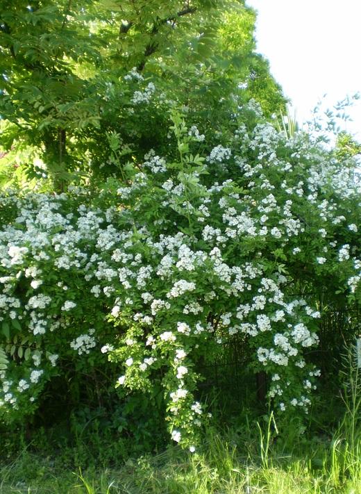 バラは5月の風とともに_f0139333_21244437.jpg