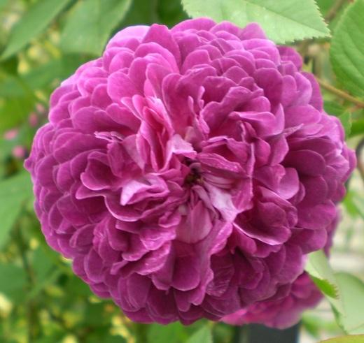バラは5月の風とともに_f0139333_21255582.jpg