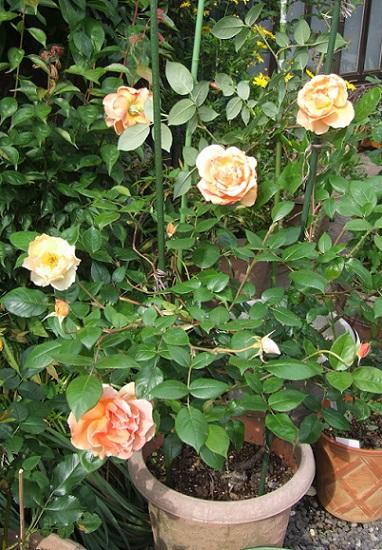 庭の薔薇が見ごろです。_b0089338_2283832.jpg
