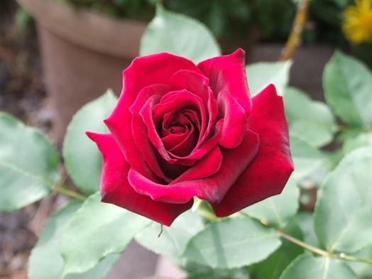 庭の薔薇が見ごろです。_b0089338_2285477.jpg