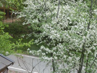 白い花の季節_f0019247_21465160.jpg