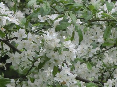 白い花の季節_f0019247_2149536.jpg