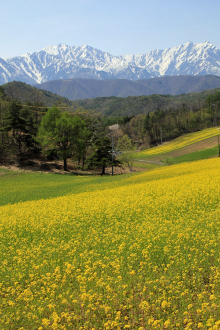 菜の花と白馬の山々 @中山高原_f0179404_20201067.jpg