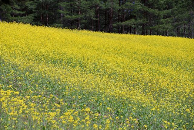 菜の花と白馬の山々 @中山高原_f0179404_2022972.jpg