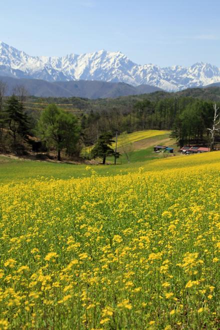 菜の花と白馬の山々 @中山高原_f0179404_20231823.jpg