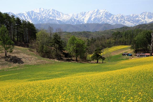 菜の花と白馬の山々 @中山高原_f0179404_20235232.jpg