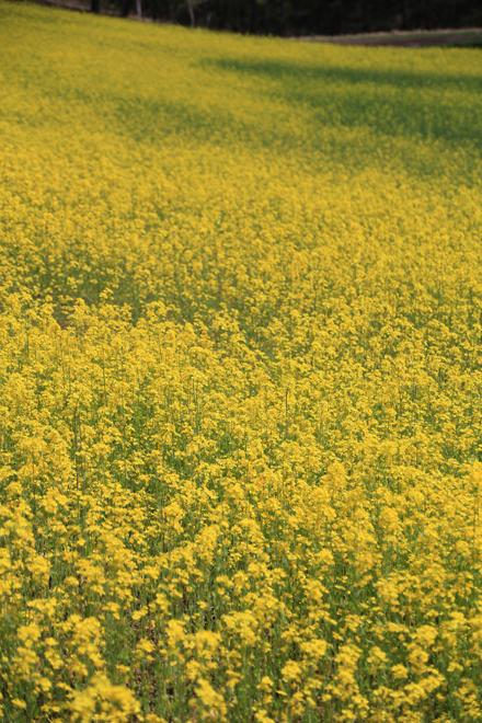 菜の花と白馬の山々 @中山高原_f0179404_2023760.jpg