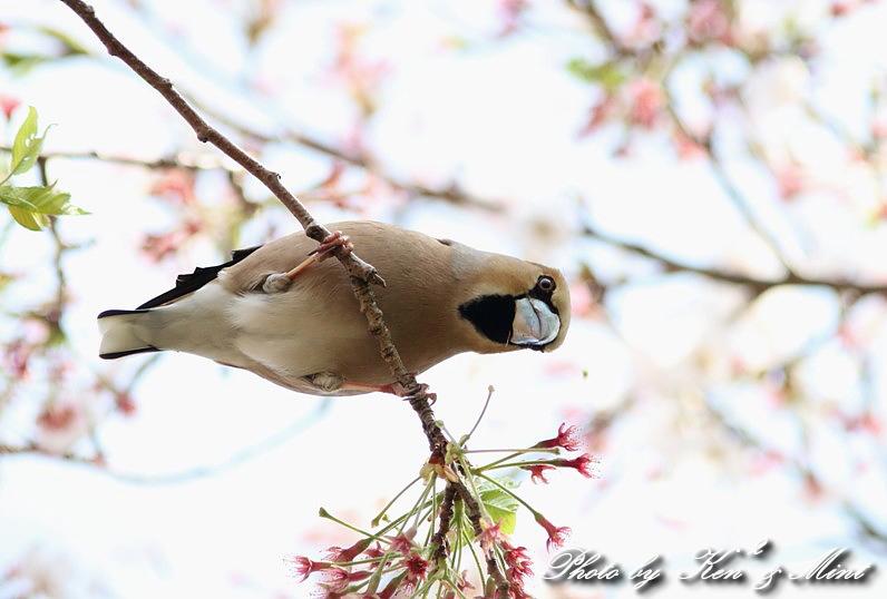 桜の中の 「シメ」 さん ♪_e0218518_20255863.jpg
