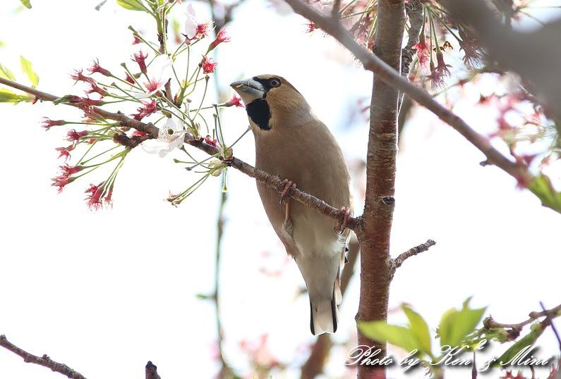 桜の中の 「シメ」 さん ♪_e0218518_20261233.jpg