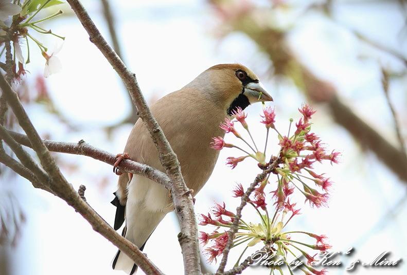 桜の中の 「シメ」 さん ♪_e0218518_20262468.jpg