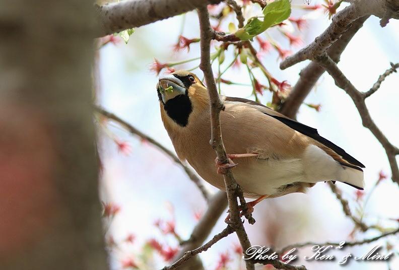 桜の中の 「シメ」 さん ♪_e0218518_20263780.jpg