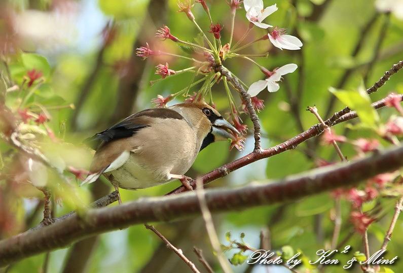 桜の中の 「シメ」 さん ♪_e0218518_202763.jpg