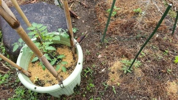 肥料入れると大きくなるよね・トマト_c0330749_11112216.jpg