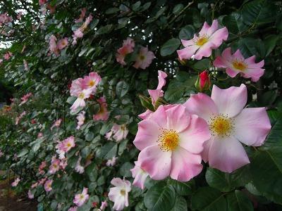 5月10日バラの季節の月例作業&お花見会_a0094959_22531749.jpg