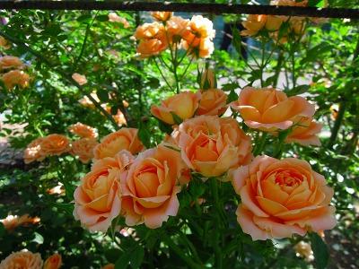 5月10日バラの季節の月例作業&お花見会_a0094959_2253581.jpg