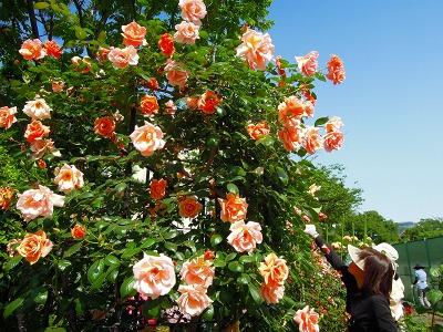 5月10日バラの季節の月例作業&お花見会_a0094959_2254128.jpg