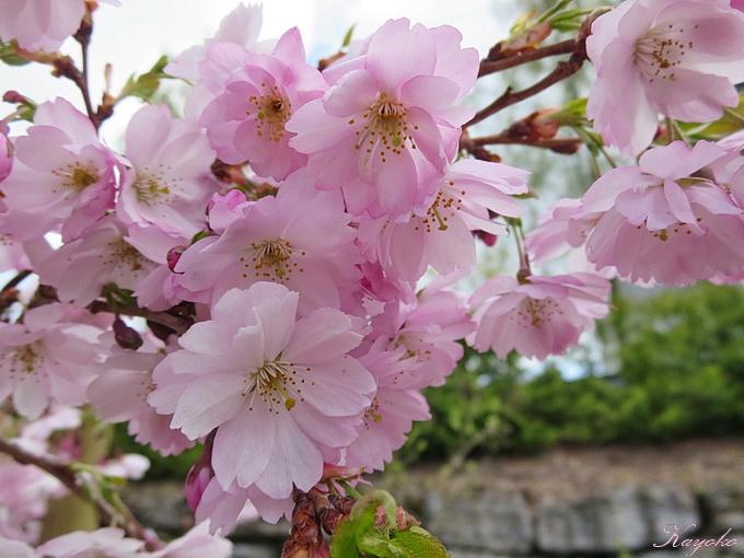 桜_a0086828_4353774.jpg