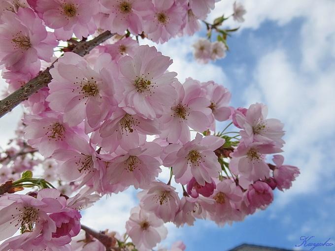 桜_a0086828_4361190.jpg