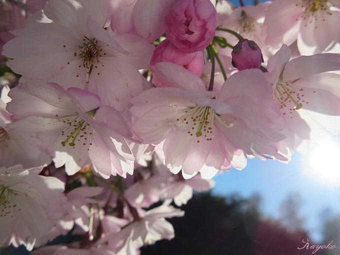桜_a0086828_4363928.jpg