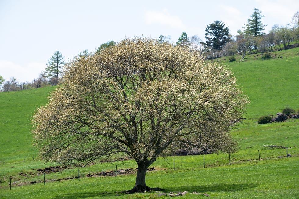 八ヶ岳牧場のヤマナシが少し咲き始めています_b0179231_9291323.jpg
