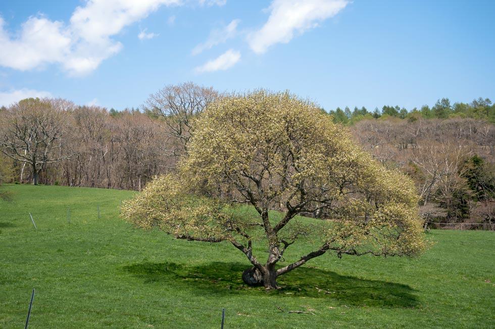 八ヶ岳牧場のヤマナシが少し咲き始めています_b0179231_9291635.jpg