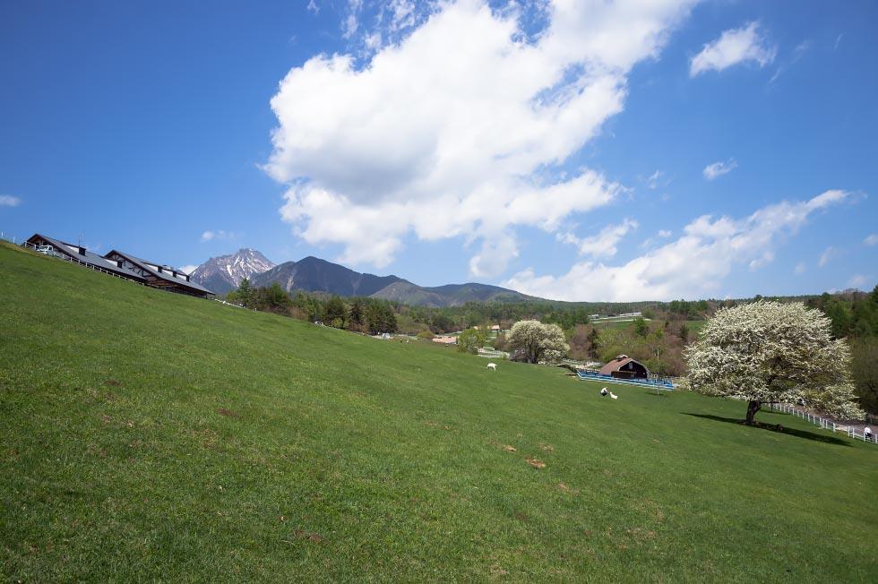 八ヶ岳牧場のヤマナシが少し咲き始めています_b0179231_9292469.jpg