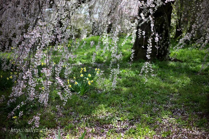 安養寺の桜(3)_d0108132_21533944.jpg