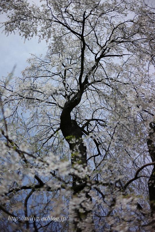 安養寺の桜(3)_d0108132_21534715.jpg